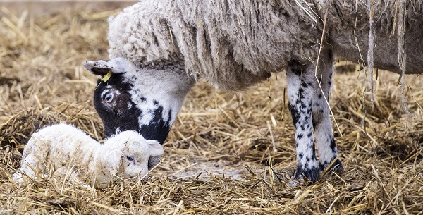 Mother sheep with its new born lamb