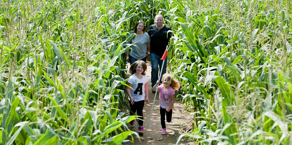 Family of four enjoying a walk around the maize maze, a summer activity held at the National Forest Adventure Farm